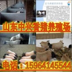 佳木斯巴马香猪养殖场益阳郊区有香猪养殖场