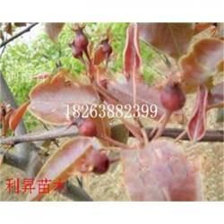 爱宕梨树嫁接苗优质供应商梨树怎么种植产量