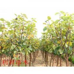 香水梨树种苗图片批发价格梨树怎么种植产量