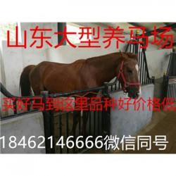 江陵设特兰矮马羊驼养殖场价格