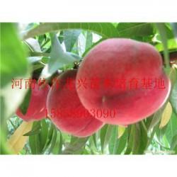 河南平顶山哪里有卖桃树苗  平顶山什么地方
