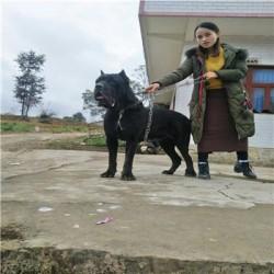 衢州成年科目马犬价格大骨架阿拉斯加幼犬