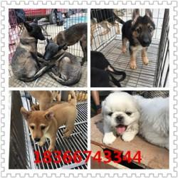 泸州成年科目马犬价格血统马犬出售