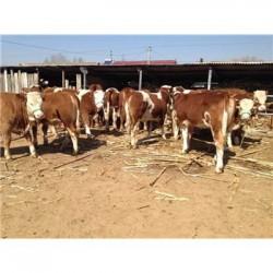 安徽300斤的鲁西黄牛肉牛犊养殖价格