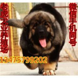 甘肃天水哪里有卖马犬纯种杜高犬长期出售保