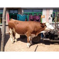 安徽300斤的杂交小黄牛市场价格