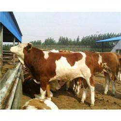 安徽300斤发西门塔尔肉牛犊养殖价格