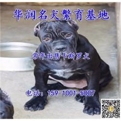 湖南耒阳卡斯罗犬出售价格