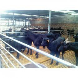 云南玉溪黑山羊多少钱一斤