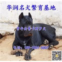 北京朝阳小卡斯罗犬低价出售