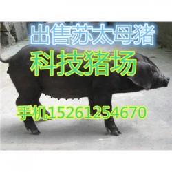 云南苏太母猪批发