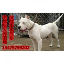 四川泸州哪里有杜高犬卡斯罗犬幼犬价格货到