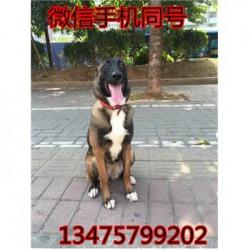 广西桂林卡斯罗犬价格三个月马犬价格 包邮