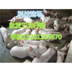 贵州本地母猪出售