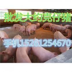 贵州猪苗批发