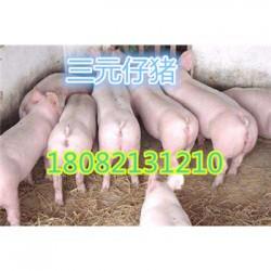 杭州苏太母猪厂家价格