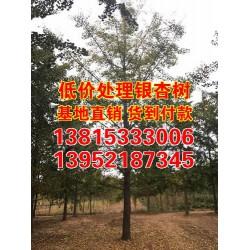 15cm银杏树价格_银杏树价格_天海银杏(查看)