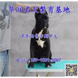 湖南醴陵三个月卡斯罗犬哪里有卖的