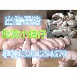 甘肃仔猪出售