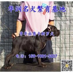 浙江嵊州三个月卡斯罗犬哪里有卖的