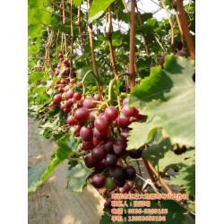巨玫瑰葡萄苗价格、北方大地葡萄、西安葡萄