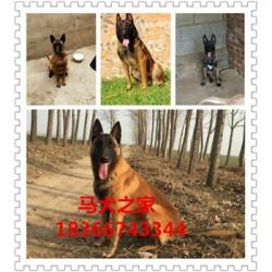 泸州杜高猎犬出售大骨架阿拉斯加幼犬