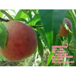 黄冈桃树苗种植,桃树苗种植距离,枣阳桃花岛