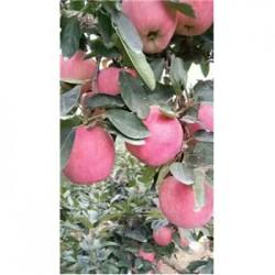 今 日 山东今 日 水晶红富士苹果热 销 价格