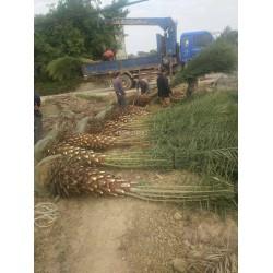 中东海枣大量供应,中东海枣绿化苗木,中东
