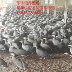 浙江珍珠鸡多少钱一只