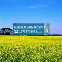 串叶松香草种子丨江苏春百宝种业