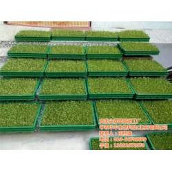 怀化爽舌尖各种芽苗菜的种植方法、爽舌尖芽