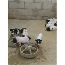 藏香猪养殖场山东安丘市周边藏香猪养殖场藏