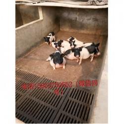 藏香猪养殖场广东雷市周边巴马香猪养殖前景