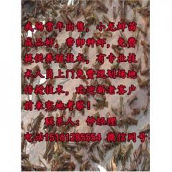 谷城县淡水小龙虾行情@虾苗报价表