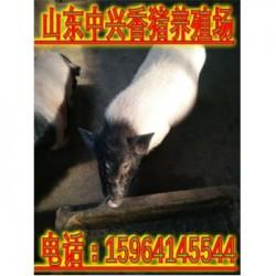 安顺巴马香猪养殖场梅州能买到纯种的小香猪