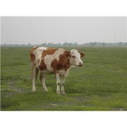 犊牛饲料春季营养饲料