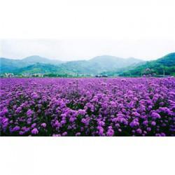 河南省七叶一枝花种子