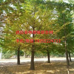 20公分实生银杏树价格|金革银杏|银杏树价格