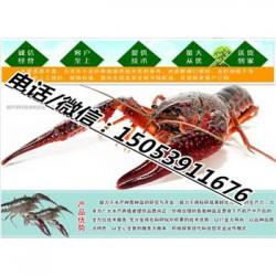 长沙哪里有龙虾苗卖—小龙虾育苗育种基地