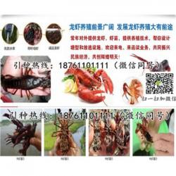 无锡青红小龙虾苗价格小龙虾苗养殖技术指导