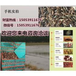 铁东龙虾苗多少钱一斤—龙虾繁育基地