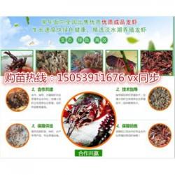 大田县淡水龙虾苗批发价格—种虾厂家出售价