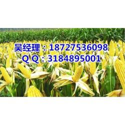 收购玉米的单位|收购玉米|民发养殖