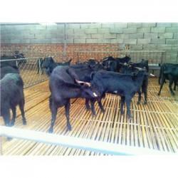 四川乐山肉羊圈养技术