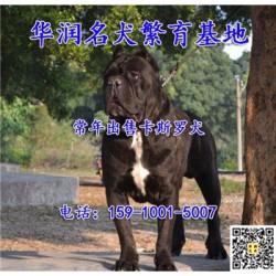 广东茂名小卡斯罗犬低价出售