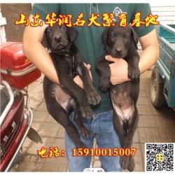 福建龙海黑狼犬一般多少钱