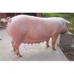 四川土杂猪价格