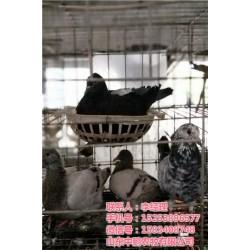 肉鸽子养殖技术|山东中鹏农牧|山西鸽子养殖