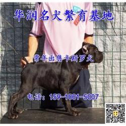 天津静海三个月卡斯罗犬哪里有卖的